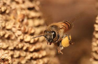 Honey bees are not only vital to our ecosystem, but they produce aamoo ziinzibaakwadaaboo, or sweet bee water. Photo by Muhammad Mahdi Karim/micro2macro.net